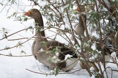 鹅夫妇画象掩藏在树下的没使用对冷的温度在多雪的冬天在南法国 免版税图库摄影