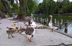 鹅家庭在公园 库存照片