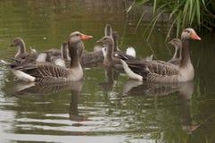 鹅家庭在水中 库存图片