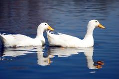 鹅对雪游泳 免版税库存照片