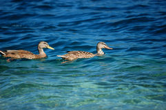 鹅意大利湖orta对 库存照片