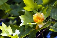 鹅掌楸tulipifera 库存图片
