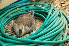 鹅是孵化用蛋 库存照片