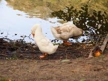 鹅是繁忙的 免版税库存照片
