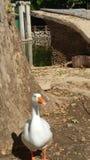 鹅本质上 免版税库存图片