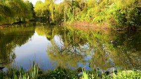 鹅沿水游泳在一个池塘在春天公园 股票录像