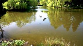 鹅沿水游泳在一个池塘在春天公园 影视素材