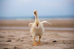 鹅沿海滩,滑稽的动物走 免版税库存照片