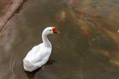鹅游泳在池塘。 免版税库存图片