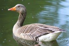 鹅游泳在池塘 免版税库存图片