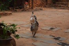 鹅游行在尼泊尔 免版税库存图片