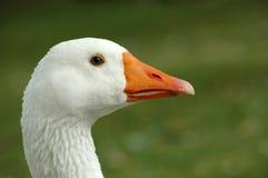 鹅白色 免版税库存照片