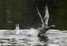 鹅离开 图库摄影