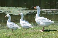 鹅群有休息由池塘 免版税库存照片