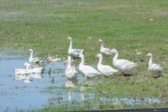 鹅群有休息由池塘 库存图片
