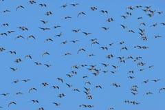 鹅群 免版税图库摄影