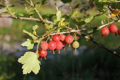 鹅莓。 免版税库存图片