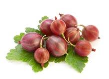 鹅莓红色成熟 免版税图库摄影