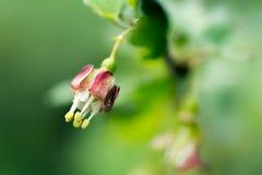 鹅莓莓果开花的灌木, 库存图片