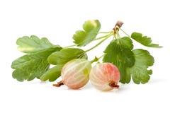 鹅莓 免版税库存照片