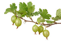 鹅莓 免版税图库摄影