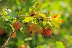 鹅莓 图库摄影