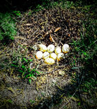 鹅蛋 免版税库存照片