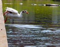 鹅跳接器 库存照片