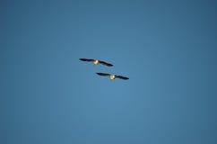 鹅飞行 库存图片