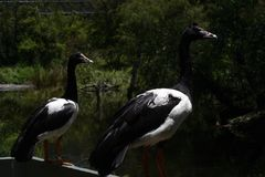 鹅鹊 免版税库存图片
