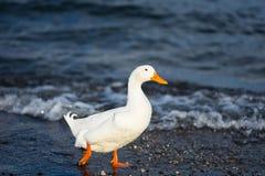 鹅, Bracciano湖,罗马,意大利 免版税库存照片