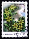 鹅黄色葱,从系列春天开花,大约1983年 免版税库存照片