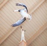 鹅samson雪 免版税图库摄影
