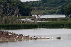 鹈鹕、苍鹭和鸬鹚群在Pigeon湖海岛上 图库摄影