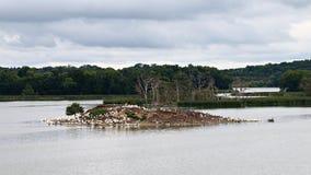 鹈鹕、苍鹭和鸬鹚群在Pigeon湖海岛上 库存照片