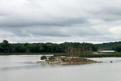 鹈鹕、苍鹭和鸬鹚群在Pigeon湖海岛上 库存图片