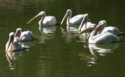 鹈鹕一伙在湖水域中 免版税库存照片