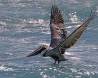 鹈鹕优美的着陆 免版税库存照片