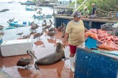 鹈鹕和加拉帕戈斯海狮为食物乞求在圣克鲁斯鱼市上 库存照片