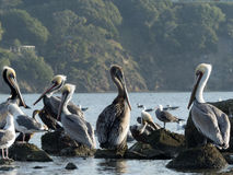 鹈鹕和海鸥2 免版税库存图片