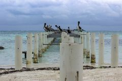 鹈鹕和鸥排行在Caye填缝隙工东部岸的一个被放弃的码头  免版税库存照片