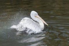 鹈鹕和水飞溅 免版税库存照片