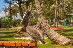 鹈鹕在动物园里 免版税库存照片