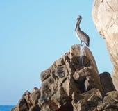 鹈鹕在土地的Los卡约埃尔考斯岩石栖息在Cabo圣卢卡斯巴哈墨西哥结束 免版税库存照片