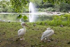 鹈鹕在圣詹姆斯公园,伦敦,英国 库存图片