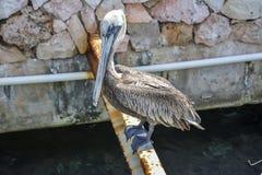 鹈鹕在库拉索岛,荷兰加勒比 免版税库存照片