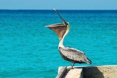 鹈鹕在有美丽的异乎寻常的蓝色海的一个码头站立 与加勒比海的一个热带平静的码头场面 免版税库存照片