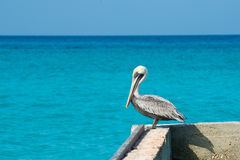 鹈鹕在有美丽的异乎寻常的蓝色海的一个码头站立 与加勒比海的一个热带平静的码头场面 免版税库存图片