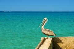 鹈鹕在有美丽的异乎寻常的蓝色海的一个码头站立 与加勒比海的一个热带平静的码头场面 库存图片