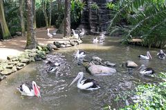 鹈鹕在水中的吃鱼 库存图片